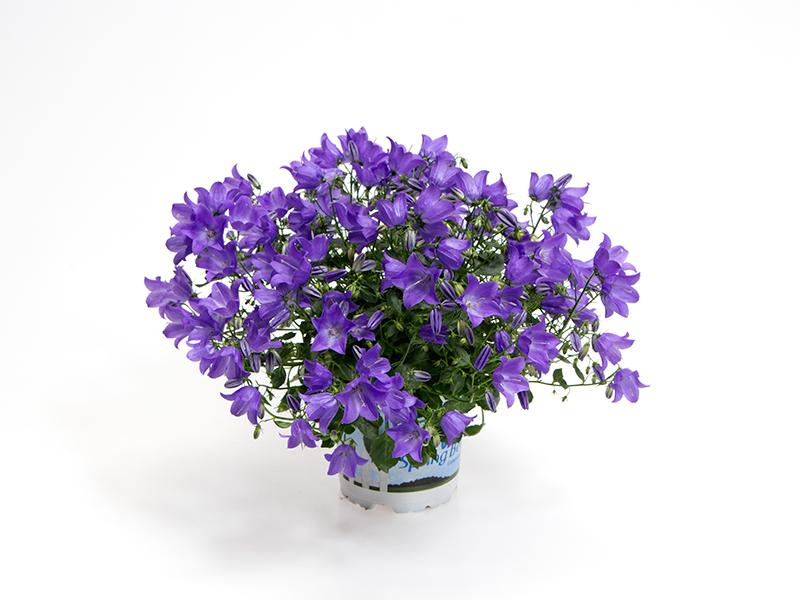 Campanula - Spring Bell - Blue