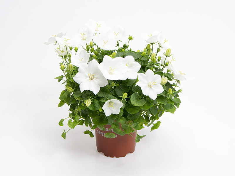 Campanula Carpatica - White