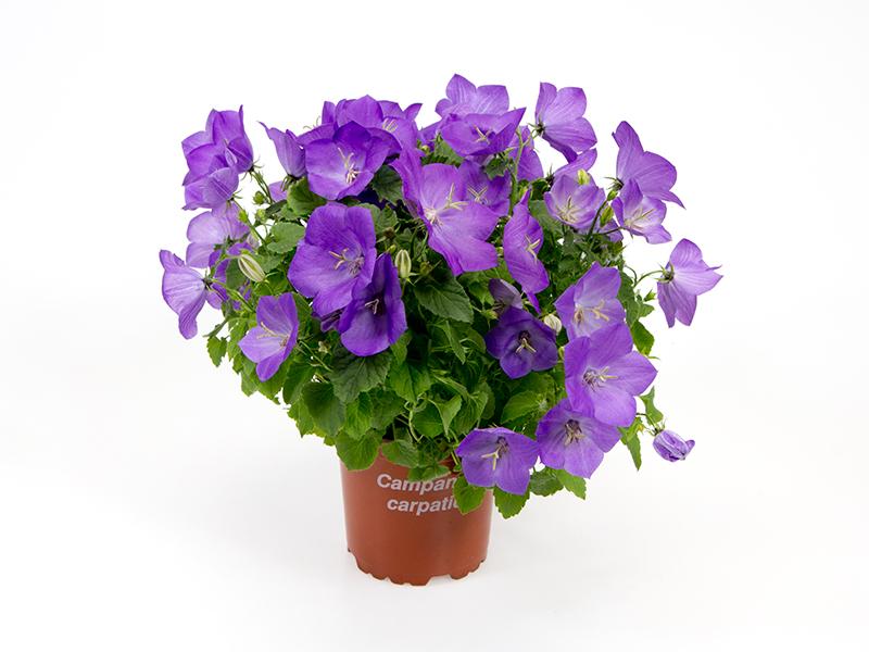 Campanula Carpatica - Blue