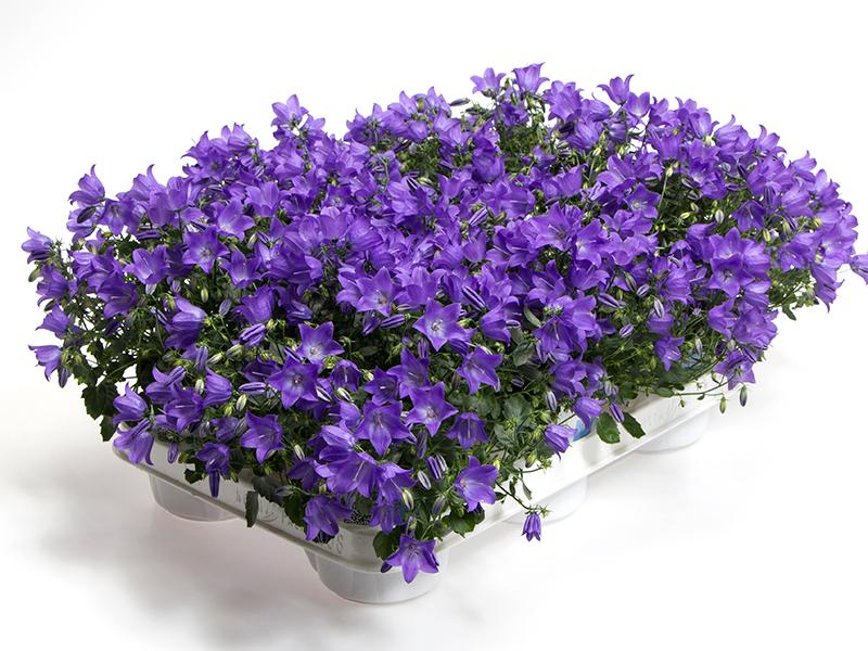 Campanula 'Spring Bell' - Blue