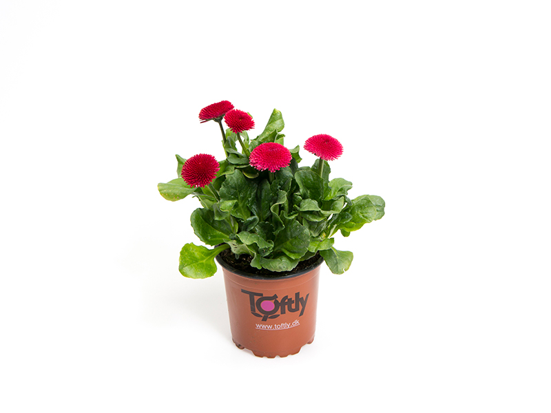 Bellis - Red